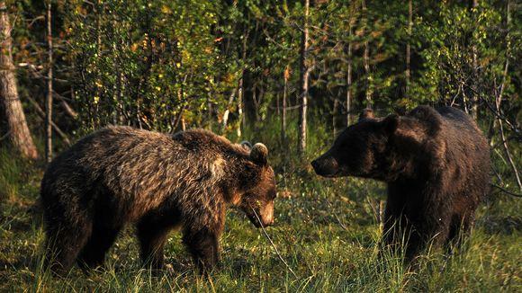 Kaksi karhua seisovat vastakkain metsän reunalla.