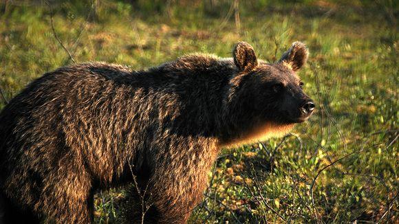 Jietna: Karhu lähikuvassa Martinselkosen eräkeskuksessa Suomussalmella.