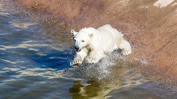 Jääkarhunpentu.
