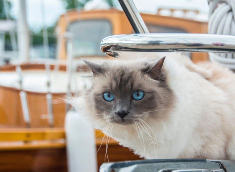 Kissa katselee veneen keulasta. Taustalla näkyy vene.