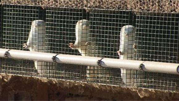 Kuvassa minkkejä häkissä