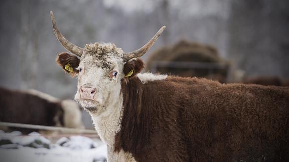 Hereford-karjaa.