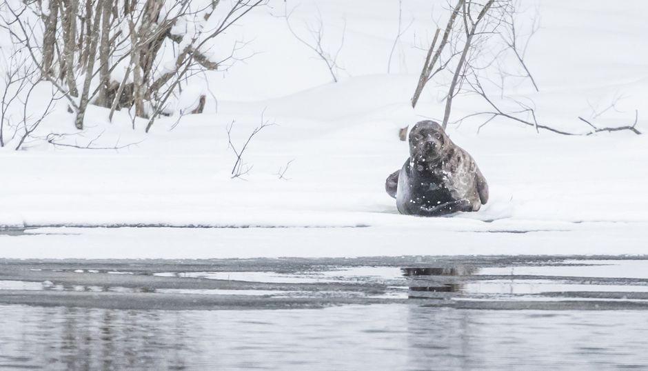 Видео: Saimaannorppa köllötteli Sahalammen jäällä tiistaina 13. helmikuuta