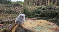 Pöllön poikanen kannon istuu päällä