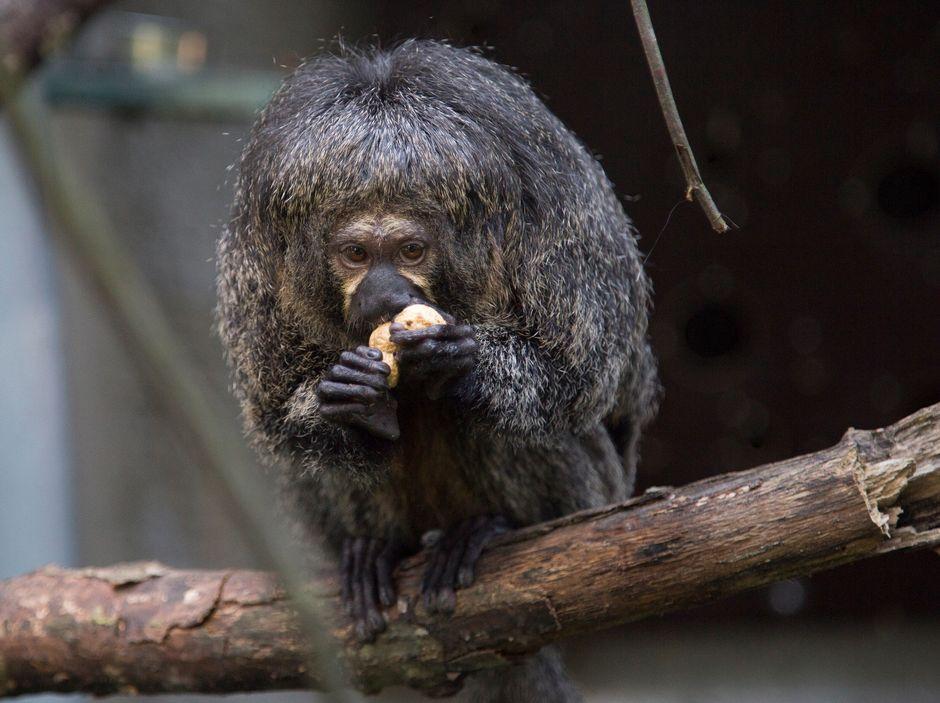 Valkopääsaki syö pähkinää.