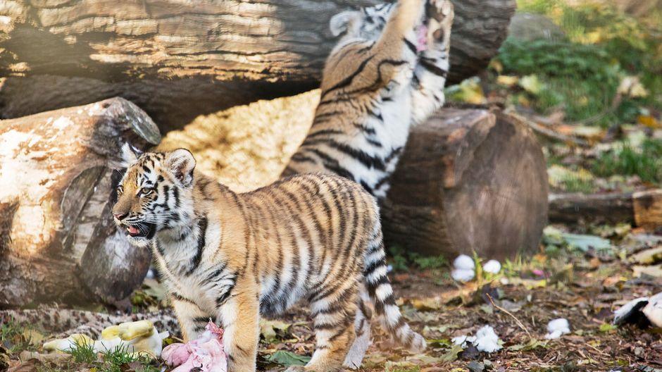 Tiger Porvoo