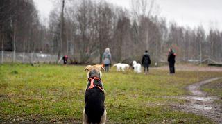 Vieno-koira istuu maassa koirapuistossa Helsingissä.
