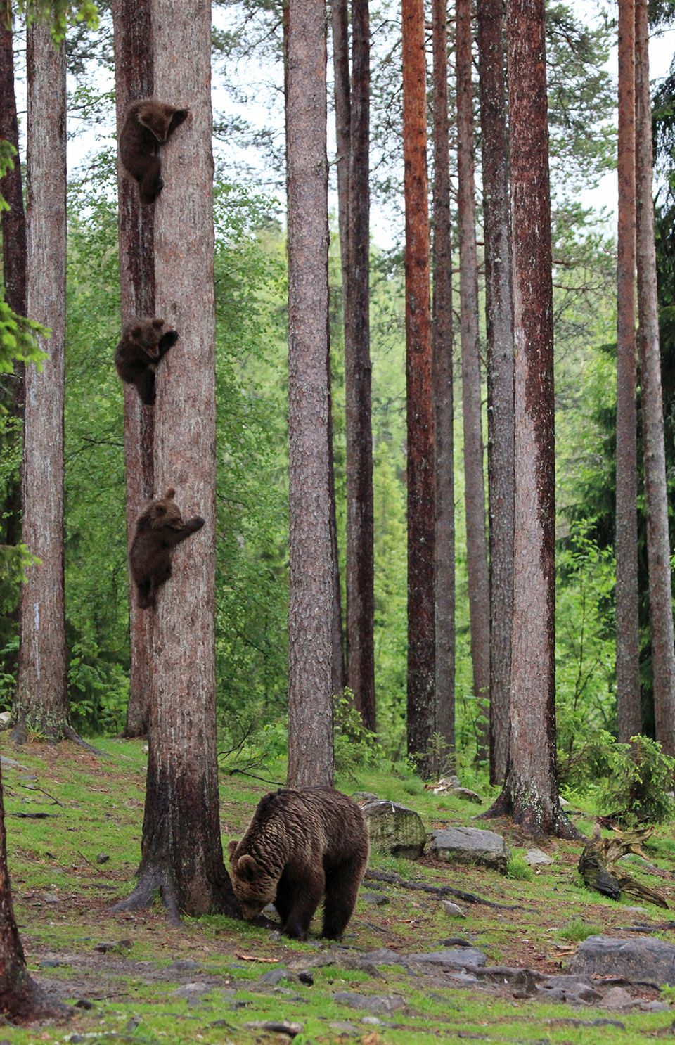 Image result for picture of a bear up a tree