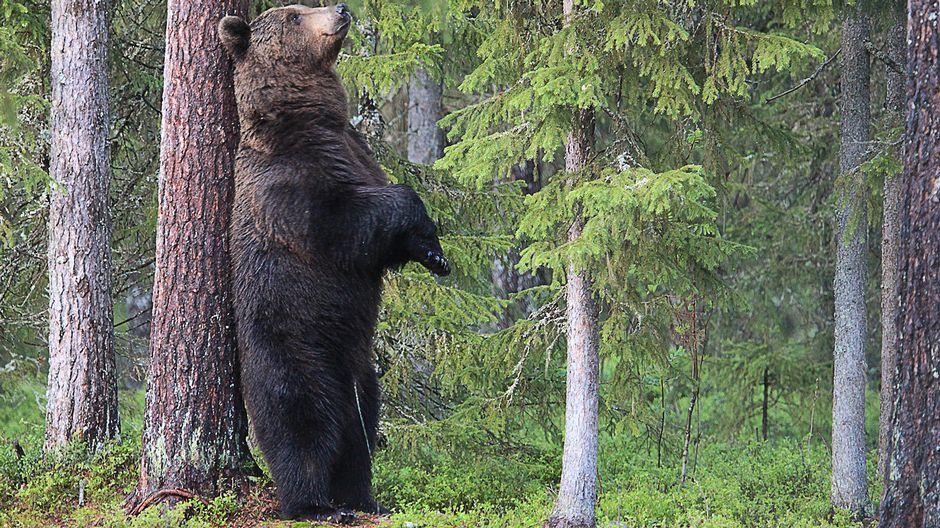 Karhu kyhnyttää selkäänsä mäntyä vasten