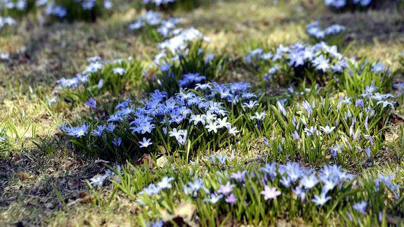Kukkia nurmikolla. Kukat kukkivat lämpimässä kevätsäässä.