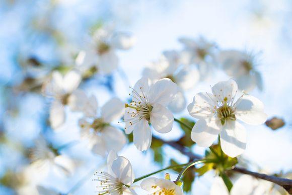 Kirsikkapuun kukkia