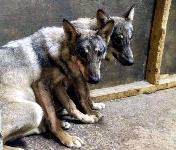 Karkkilasta löydetty eläin ja sen aiemmin lopetettu sisarus