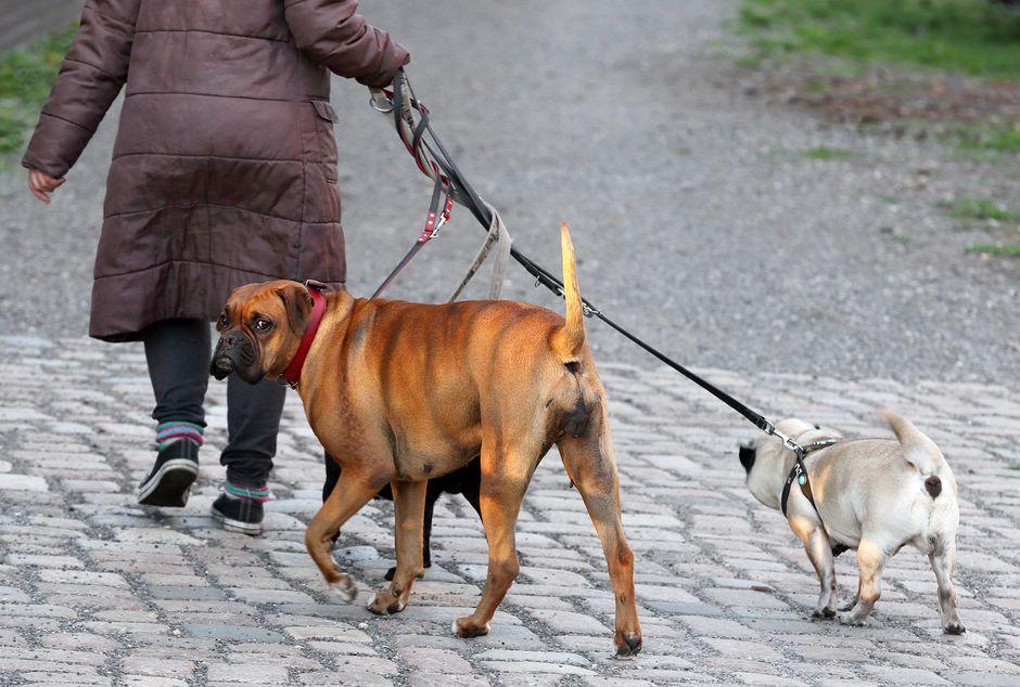 Nainen ulkoiluttaa kolmea koiraa Saksassa.