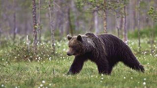 Taavetissa kuvattu karhu