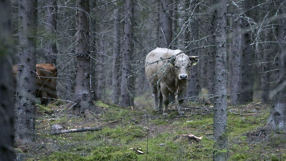 Karanneita nautoja metsässä Vehniällä Laukaassa.