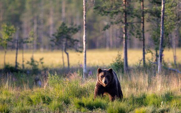 Karhu Kuhmossa 22. heinäkuuta
