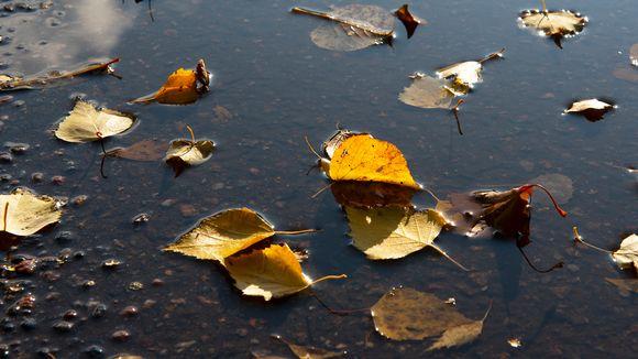Kellastuneita lehtiä vedessä.