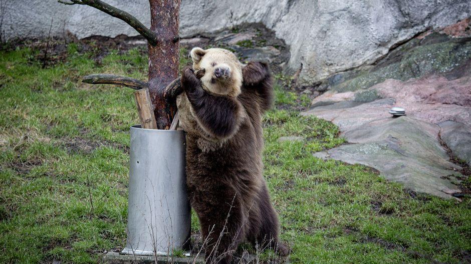 Mild winter wakes Korkeasaari bears from hibernation