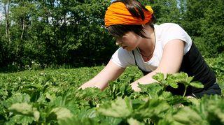 Nainen poimii mansikoita Rossi Tarhojen itsepoimintatilalla