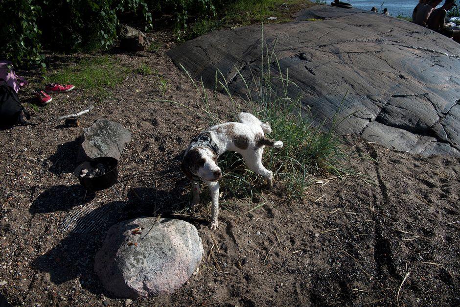 Koira pissaa ruohopuskaan Mustikkamaalla.