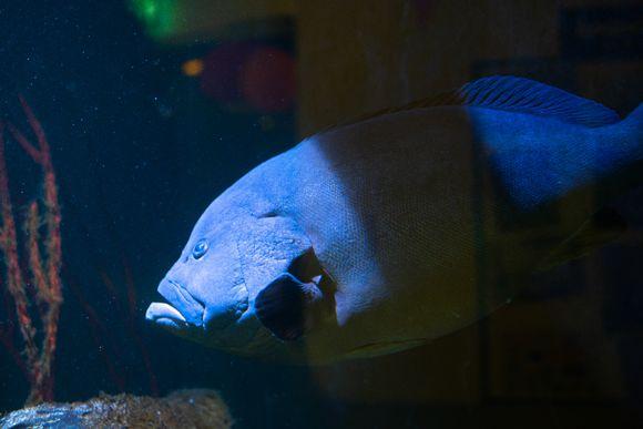 Mikko-meriahven möllöttää akvaariossaan.