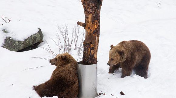Molemmat karhut ovat leikkineet ja painineet tänään lumella, toinen nojailee puuhun, toinen kuopii lunta.