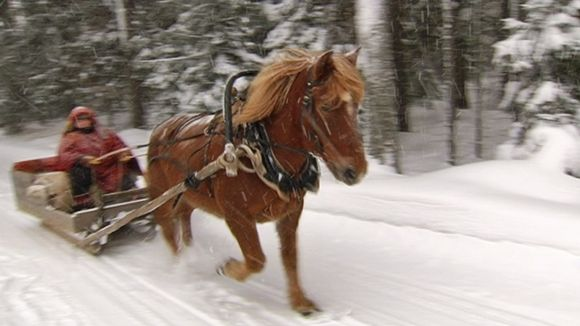 Uuras the horse pulls the old sleigh through winter wonderland.