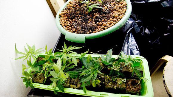 Kannabis-kasveja kasvamassa kukkalaatikossa.