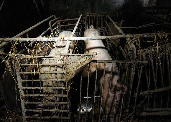 Helmikuussa 2014 Oikeutta eläimille -järjestön ottama kuva laukaalaiselta sikalalta.