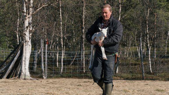 Osmo Seurujärvi kantaa poron vasaa.