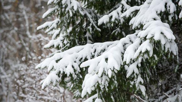 Kuusen oksia lunta.