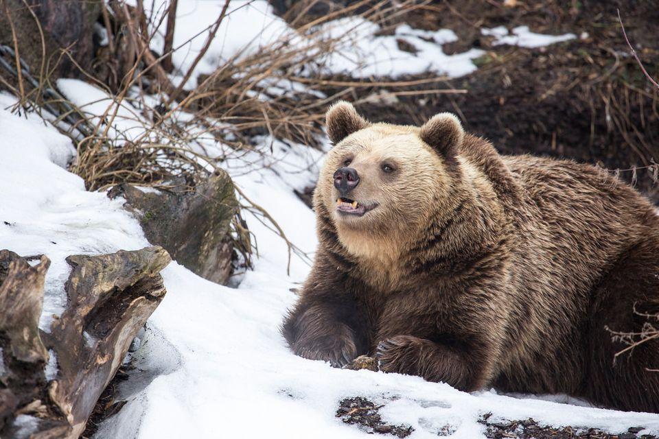 a sure sign of spring korkeasaari bears wake from winter. Black Bedroom Furniture Sets. Home Design Ideas