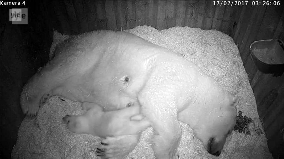 Видео: Mustavalkoisessa kuvassa jääkarhuemo ja pentu.