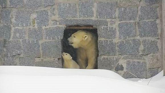Jääkarhut ulkona.