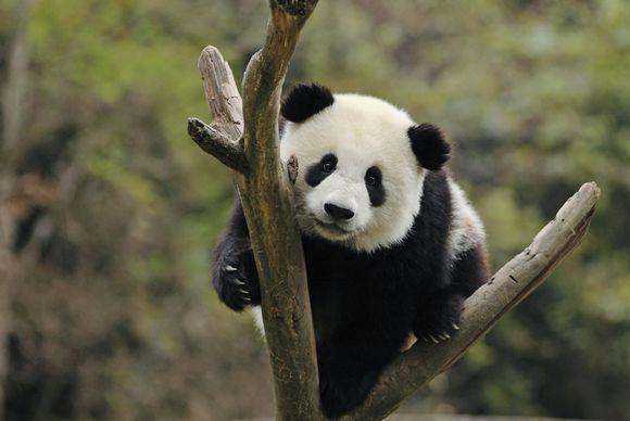 Pandat jotka mahdollisesti tulevat Suomeen asumaan.