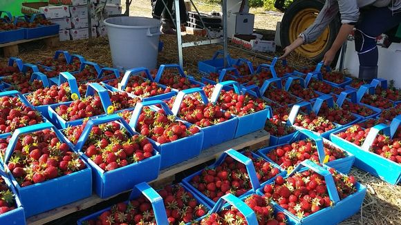 mansikoita mansikka rasioissa mansikkarasiat mansikkarasia