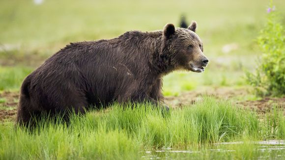 Karhu kuvattuna Kuhmon Viiksimossa.