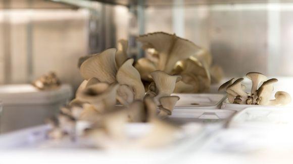 Viljeltyjä osterivinokkaita. Sieniviljelyä konteissa.