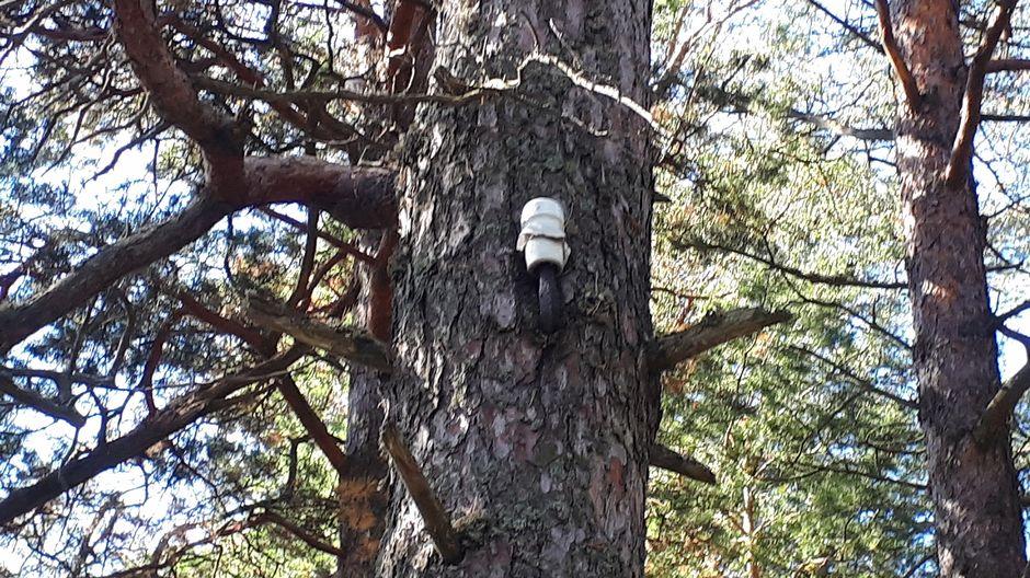Vanha sähköjohdon paikka puussa