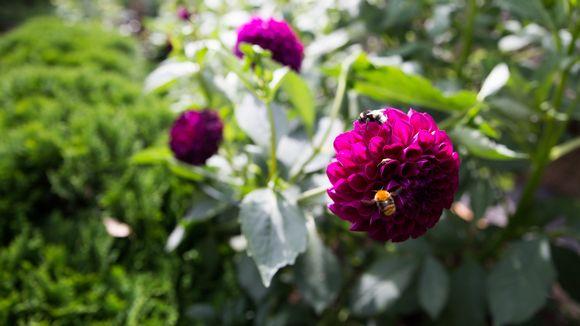 Pölyttäjät daalian kukassa, Eija´s Garden