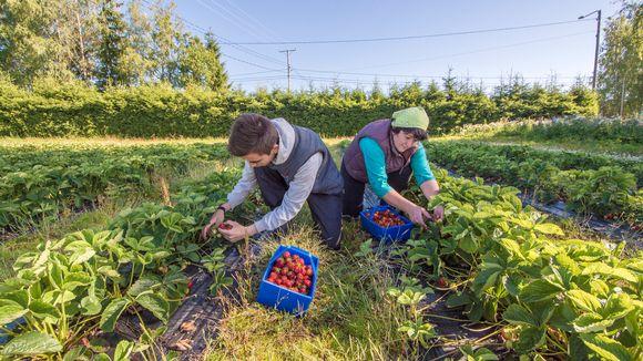 Sortavalalaiset Artem ja Irina Klemzikova poimivat mansikoita Venälän tilalla Kuopiossa