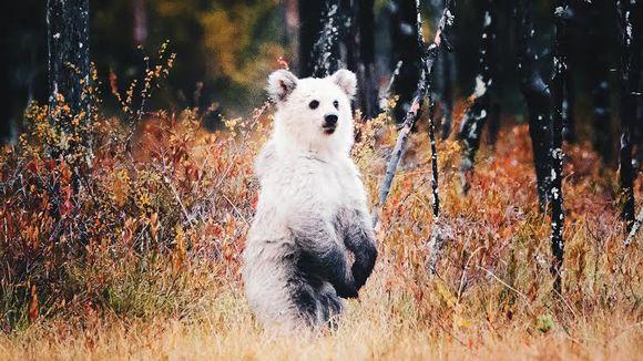 Lähes kokonaan valkoinen karhunpentu seisoo takajaloillaan suolla.