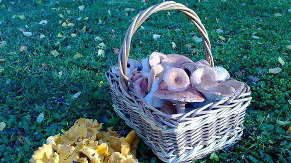 Sienimetsästä voi löytyä runsaasti saalista.