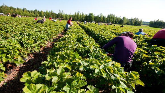 Marjanpoimijoita mansikkaviljelmällä