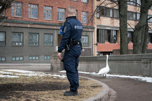 Poliisi tarkkailee joutsenta jottei tämä mene liikenteen sekaan.