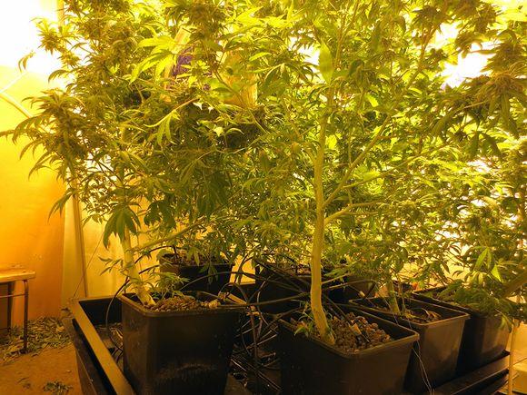 Kannabiskasveja.