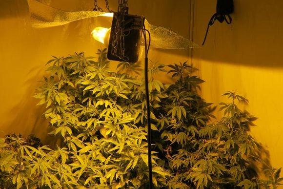 Kannabista