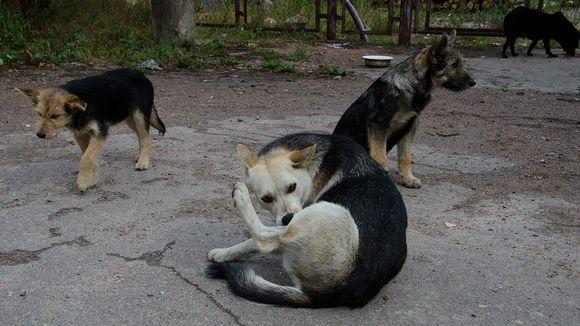 Villikoiria Venäjällä.