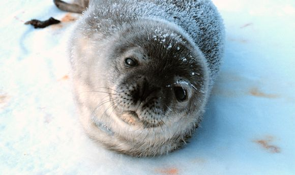 Back from the brink? At least 78 rare Saimaa seal pups born this spring