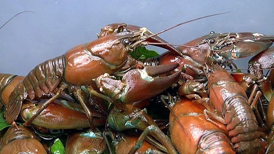 High Expectations For Crayfish Season Yle Uutiset Ylefi